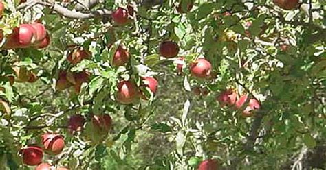 what should you spray apple trees with ehow uk - When Should You Spray Fruit Trees