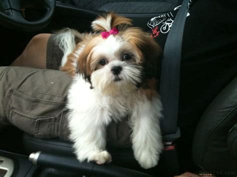 hair styles for shih tzu dogs 1000 images about shih tzu pix on pinterest shih tzu