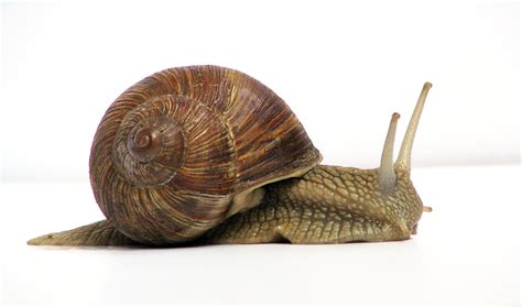 Terrestrial Snail Pictures About Animals | google images
