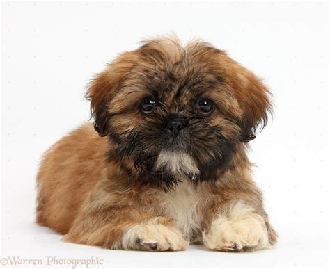 brown shih tzu puppies brown shih tzu puppy buscar con shih tzu cortes shih tzu puppy