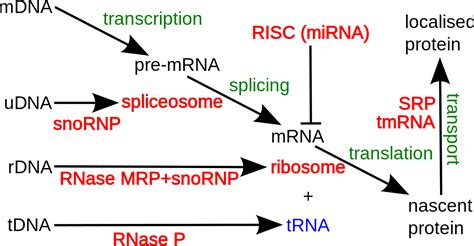 many rna molecules from eukaryotic genes have sections called non coding rna wikipedia