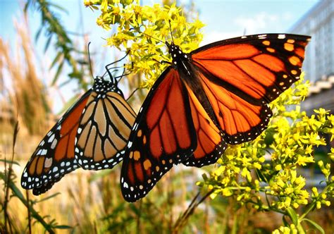 monarch butterfly soul amp more autumn 2008 photos of monarch butterflies