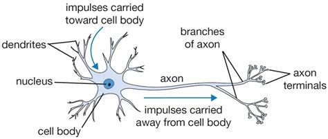 simple neuron diagram artificial neural networks convolutional neural networks