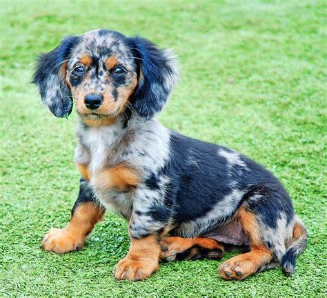 dachshund colors this will be my next weenie dapple puppy