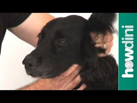 how to your golden retriever how to clean your golden retriever pup s ears at home