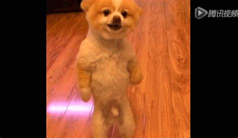 pomeranian protests haircut huffpost news strange but true stories from the headlines
