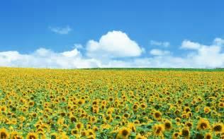 sunflower fields sunflower field wallpaper 131894