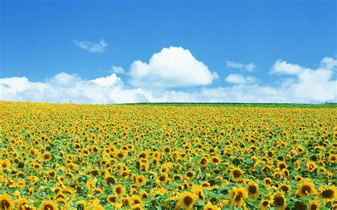 sunflower field sunflower field wallpaper 131894