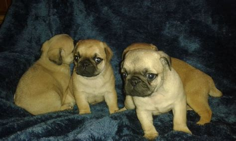 apricot fawn pug apricot fawn pug puppies waltham cross hertfordshire pets4homes
