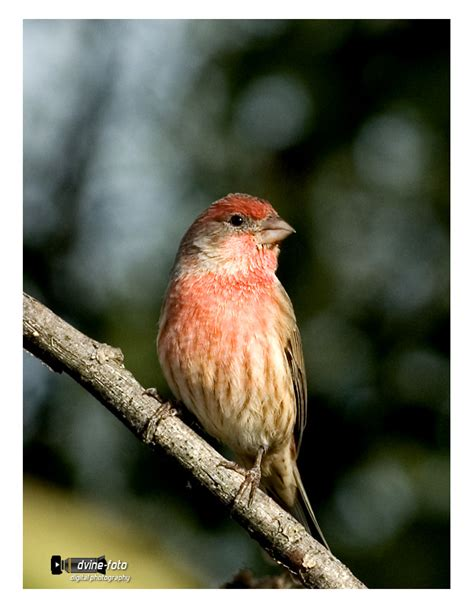 red house finch treknature red house finch photo