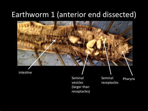 earthworm dissection earthworm dissection labeled www pixshark images galleries with a bite