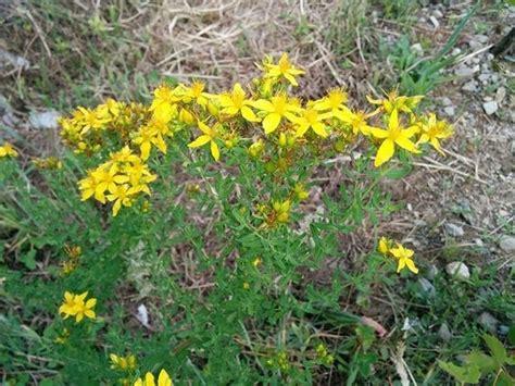 iperico fiore iperico pianta piante perenni pianta di iperico