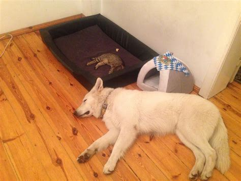 Helpless Dogs And Cats Are For Your Help by 25 Helpless Dogs That Had Their Bed Stolen By The Cat