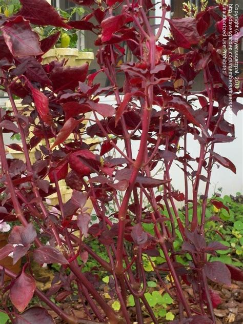 plant identification closed red wine colored leaves