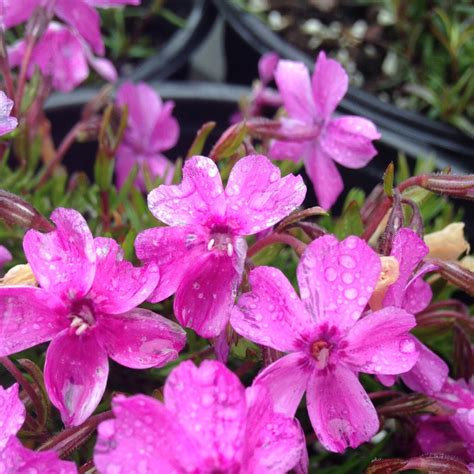 5 early spring blooming perennials everlongardener