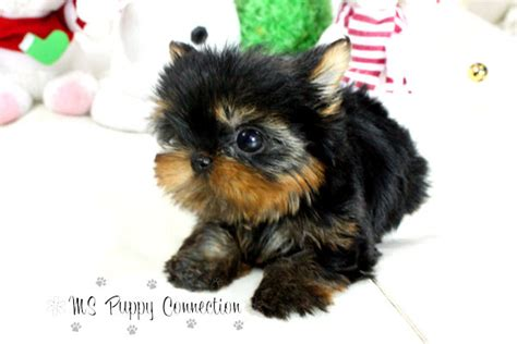 teacup yorkies for sale in mississippi new york teacup puppies for sale