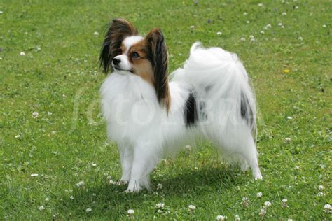 papillon puppy price breeds and prices breeds picture
