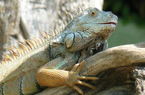 iguana alimentazione iguana verde