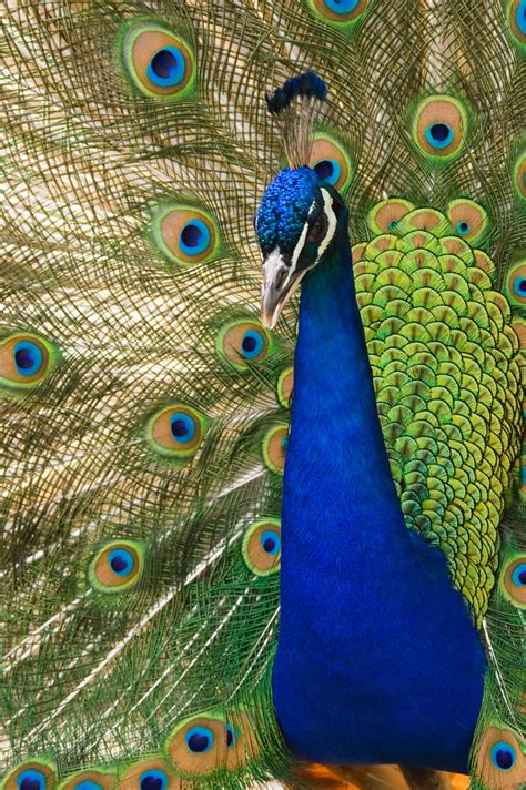 peacock colors practical thread magic in search of peacock colors