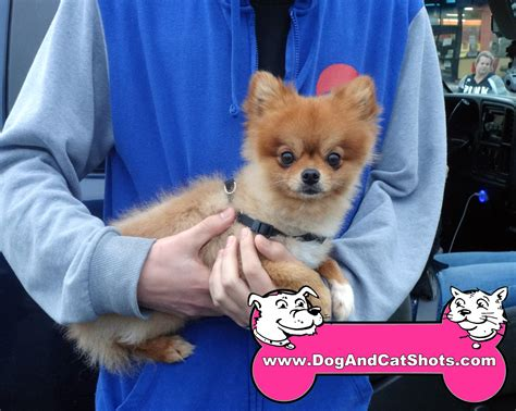 pomeranian and cats low cost and cat in northern california the pomeranian gets vaccinated