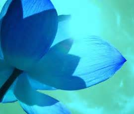 Blue Lotus Anxiety Beautiful Blue Lotus Flower Petals Photo Dodds
