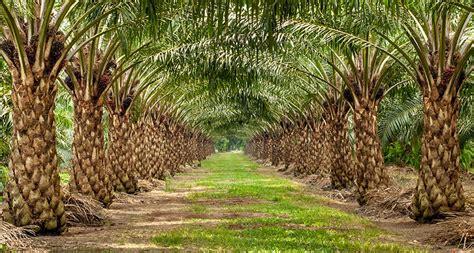 Minyak Kelapa Sawit Turun minyak kelapa sawit dalam persaingan minyak nabati global