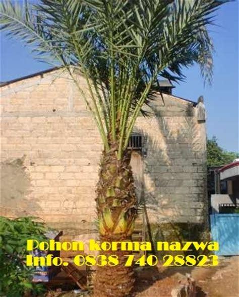 Bibit Pohon Kurma pohon korma tanaman korma bibit kurma di indonesia