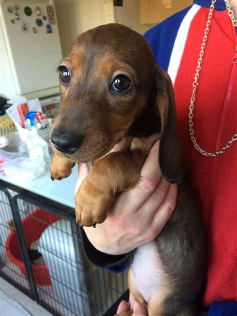 dachshund puppies for sale in colorado miniature dachshund puppies for sale canterbury kent pets4homes
