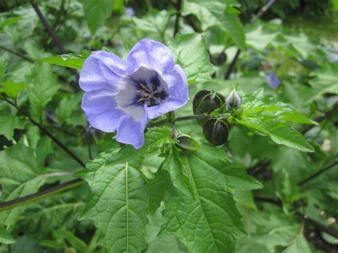 Physalis Pflanzen Kaufen 1767 physalis pflanzen kaufen physalis pflanzen kaufen
