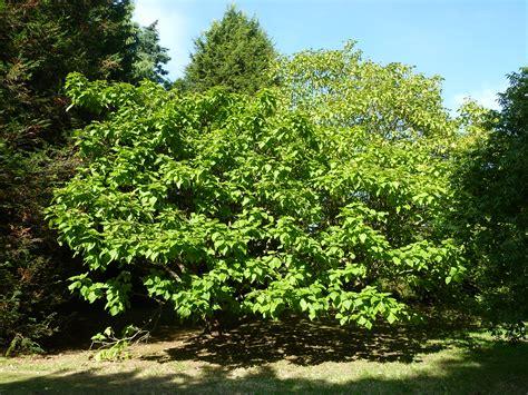 description of a tree file catalpa bignonioides quot aurea quot bignoniaceae tree jpg