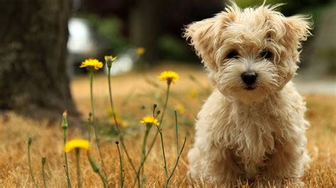 dogs havanese havanese silk wallpapers hd wallpapers id 11097