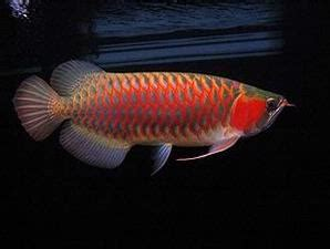 Lu Hias Ikan warna ikan arwana yang exotis forum terselubung