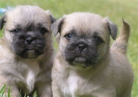shih tzu pug mix breed shih tzu mix with pug breeds picture