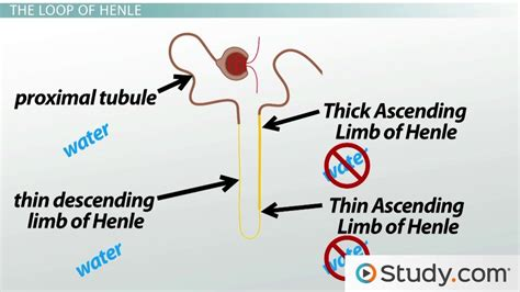different section of library and their definition the renal tubule definition function terms video