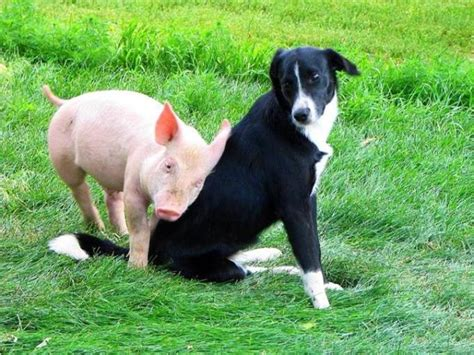 puppy and piglet a story about a pig and a vegetarian friend