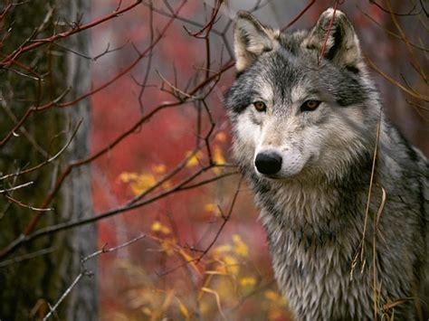 imagenes terrorificas de lobos los mejores fondos de pantalla de lobos taringa