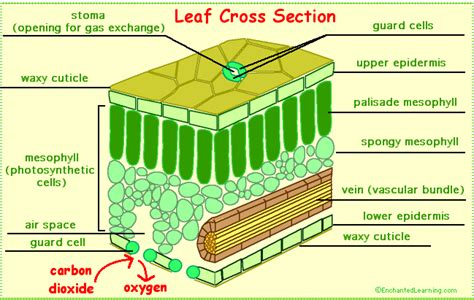 cross section of an plant cell leaves and leaf anatomy enchantedlearning com