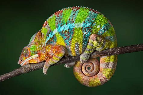 The Chameleon by Roger Zare