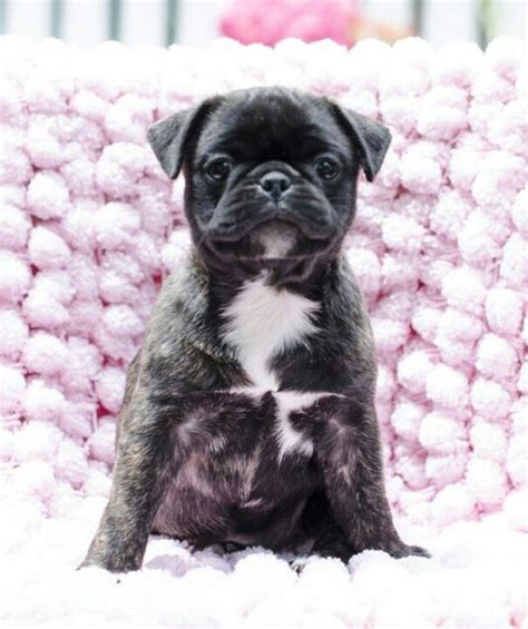 pug terrier mix information 25 best ideas about bugg puppies on boston terrier pug pug mix and