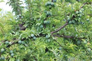 what does tree fruit trees in turkey turkish kitchen secrets