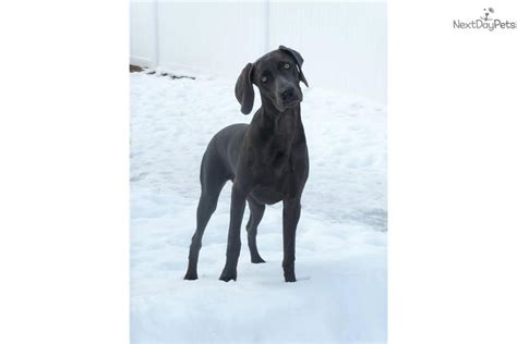 weimaraner puppies near me weimaraner puppy for sale near bloomington indiana e1a5c0cc 0fe1