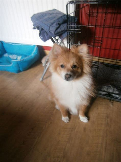 6 month pomeranian puppy pomeranian 7 months breeds picture