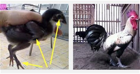 Bibit Ayam Di Lung ciri bibit ayam pelung yang bagus kualitas kontes situs
