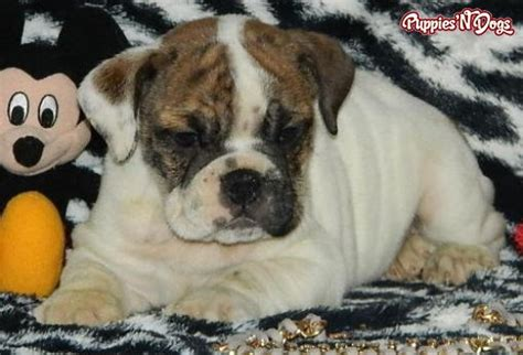 bulldog puppies for sale in indiana cheap bulldog puppies for sale uk cheap breeds picture