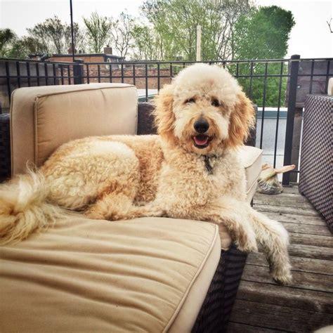 f1b goldendoodle puppies emmy standard f1b goldendoodle brewer s goldendoodles sheepadoodles