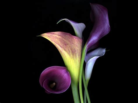 colored calla black and white calla flowers with black and