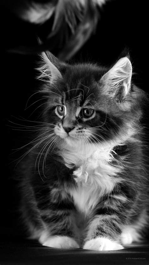 black and white vertical wallpaper 1440 x 2560 maine coon black and white dazzling desktop