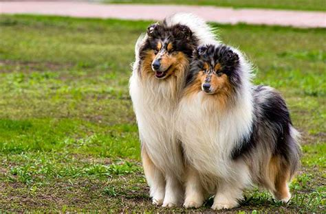 what type of was lassie collie breed information pictures characteristics