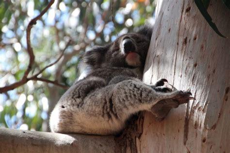 schlafen wie lange australien k 228 ngurus und koalas auf kangaroo island push