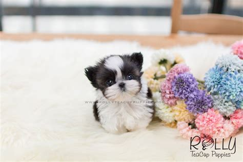 teacup shih tzu puppies for sale near me sold to reyes shih tzu f rolly teacup puppies